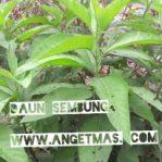 Bibit tanaman daun sembung