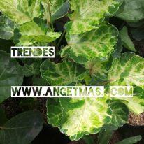 Jual bibit tanaman bunga trendes