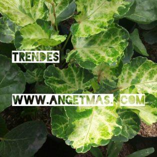 Bibit tanaman bunga trendes