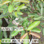 Bibit tanaman buah juwet putih