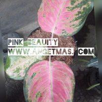 Tanaman pink beauty