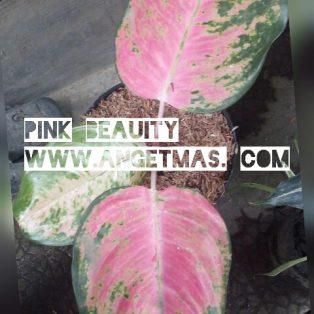 Tanaman Aglaonema pink  beauty