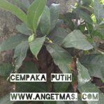 tanaman cempaka putih