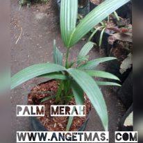 bibit tanaman palem merah, manfaat palem merah