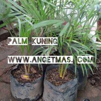 Jual bibit tanaman palm kuning