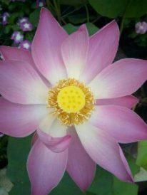 Tanaman bunga lotus, jual bunga lotus