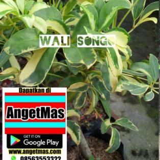 Tanaman bunga wali songo bangkok