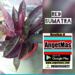 Tanaman bunga Red Sumatra