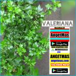 Tanaman valeriana