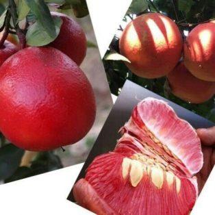 Tanaman buah jeruk pamelo merah
