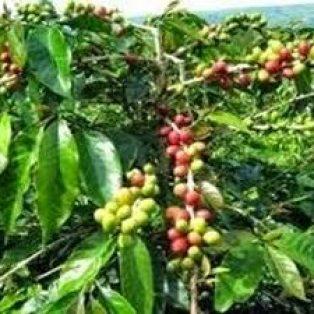 Tanaman buah makasar