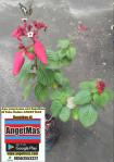Tanaman bunga Nusa Indah Merah