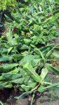 tanaman buah pisang cavendish