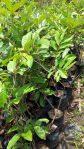 Tanaman buah rambutan lebak bulus