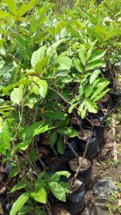 Bibit tanaman buah rambutan lebak bulus