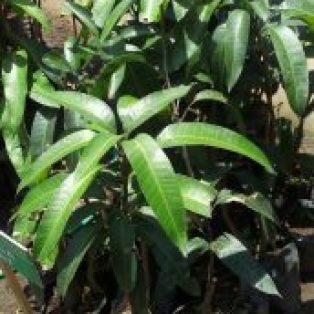 Tanaman buah mangga kio jay