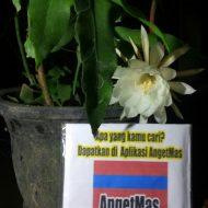Tanaman bunga wijaya kusuma