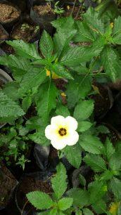 Bunga pukul 9