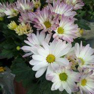 Jual tanaman bunga krisan atau tanaman bunga seruni