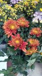 Tanaman hias bunga krisan