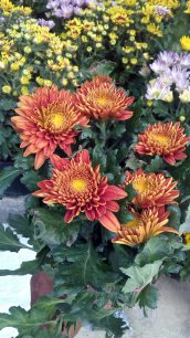 Bibit bunga krisan