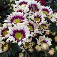 Tanaman bunga krisan