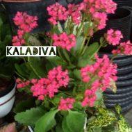 Tanaman Kaladiva