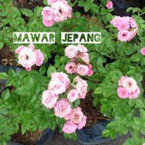 Bunga mawar jepang