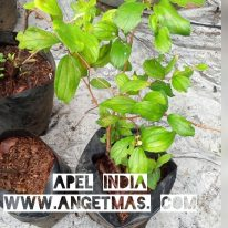 Bibit buah apel india