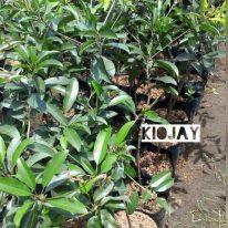 Tanaman buah mangga kiojay