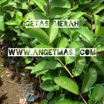 tanaman jambu biji getas merah