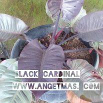 Jual tanaman black cardinal