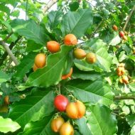 Tanaman kacang Amazon