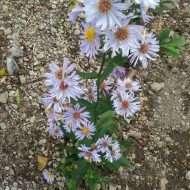 Tanaman bunga senandung rindu