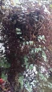 tanaman sisik naga