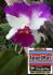 Bibit Tanaman Bunga Anggrek
