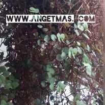 tumbuhan sisik naga