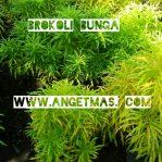 Tanaman Bunga brokoli kuning / khalifah kuning