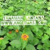 Tanaman bunga lantana