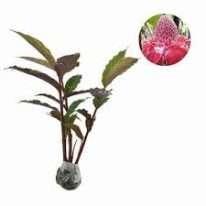 bunga kecombrang