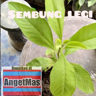 tanaman sembung legi/ blumea balsamifera