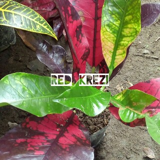 tanaman puring red crazy