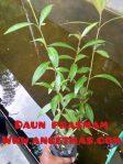 Bibit tanaman daun prasman