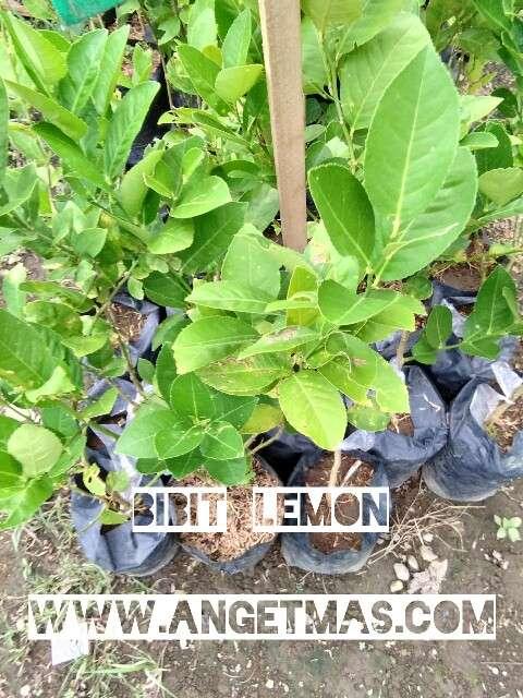 tanaman buah jeruk lemon