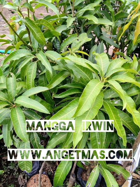 Jual bibit buah mangga irwin