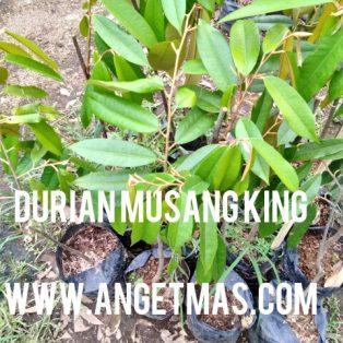 Bibit Buah Durian Musang king