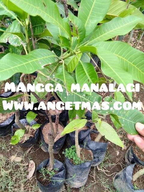 jual bibit tanaman buah mangga manalagi