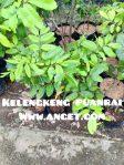 bibit tanaman buah kelengkeng puanrai