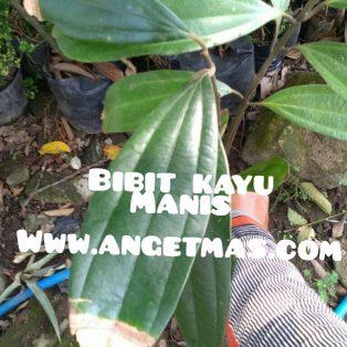 Bibit tanaman kayu manis