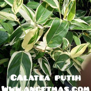 Tanaman Calathea putih